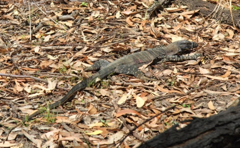 In the next National Park we got startled by a Goanna, a huge lizzard.